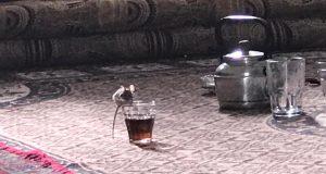 فئران الرقة: عددها أكثر من السكان